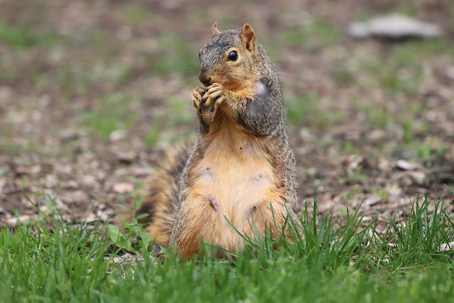 Fox Squirrels in Ann Arbor at the University of Michigan on May 7th, 2021