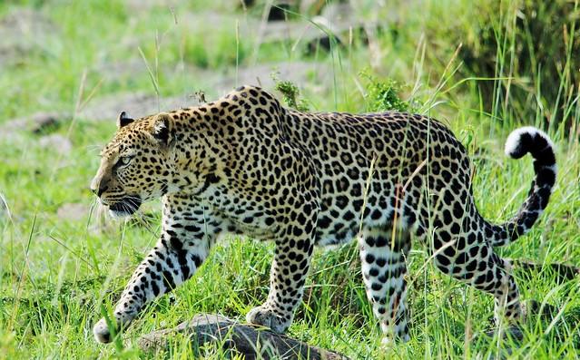 Leopard On The Prowl  (Panthera pardus) _