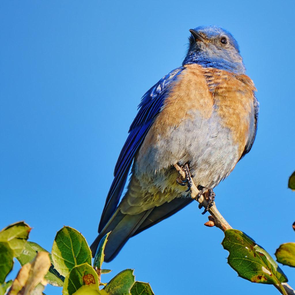 Overlooking the Inlet: Western Bluebird