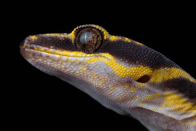 Inland Marbled Velvet Gecko - Oedura cincta