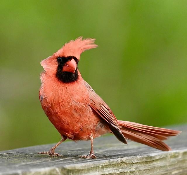 Male Cardinal 5/1/21