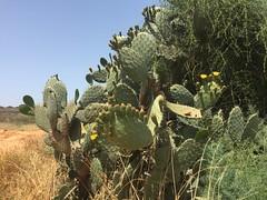 Sabra Plants