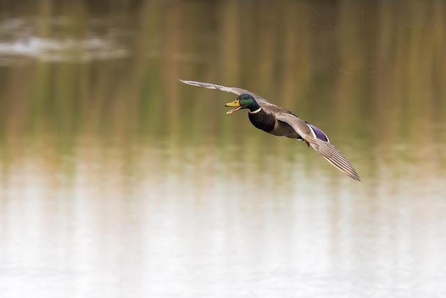 Quack Landing