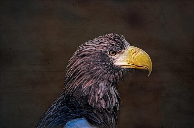 Riesenseeadler - Giant Sea Eagle
