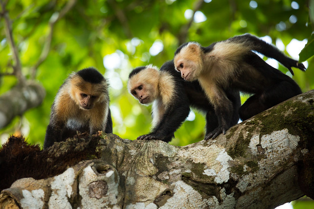 Panamanian white-faced capuchins (Cebus imitator)
