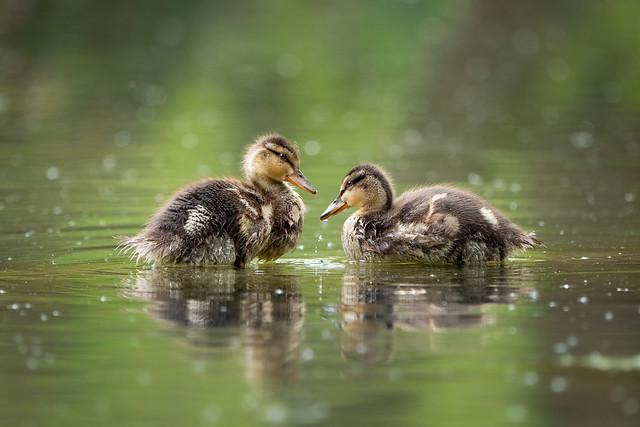 Chicks of a mallard