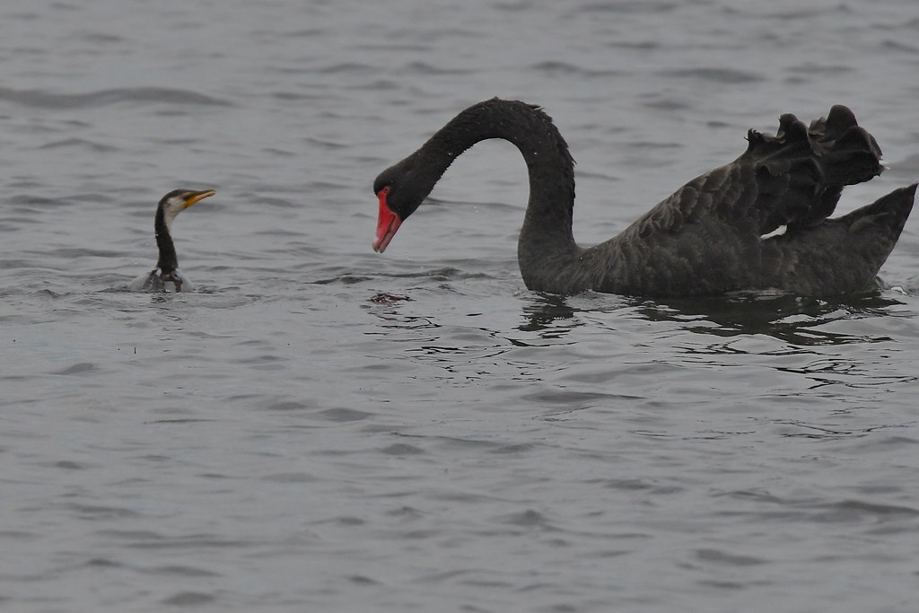 Black Swan and Little Pied Cormorant ( not having a good day )