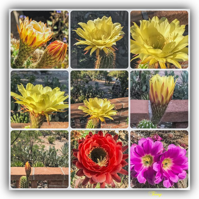 Just a quick collage of our torch cactus plus a few others