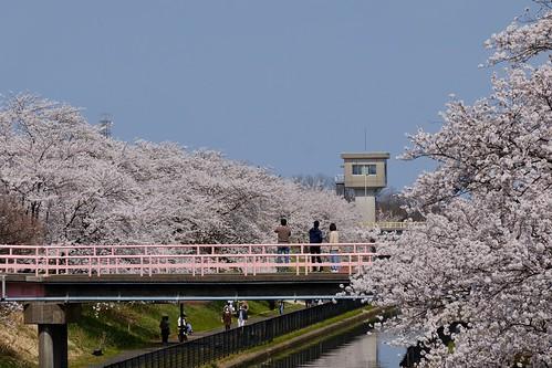Sakura memories 2021 7