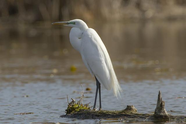 Great Egret | Morning Light