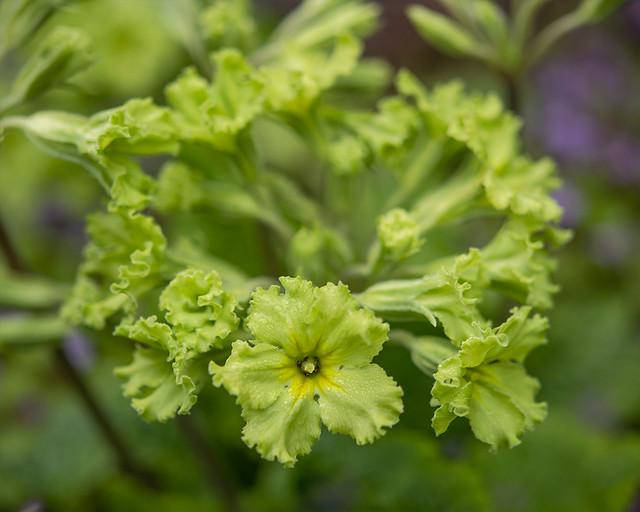 Primula 'Francisca' (Polyanthus Primrose)