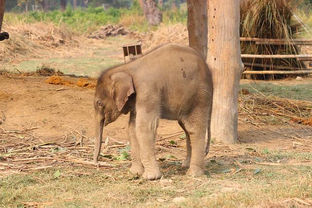 141118-Nepal CHITWAN Parc Elephants Entraves (11)