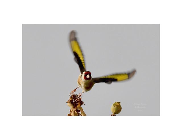 Arrancando el vuelo. Jilguero europeo (Carduelis carduelis).