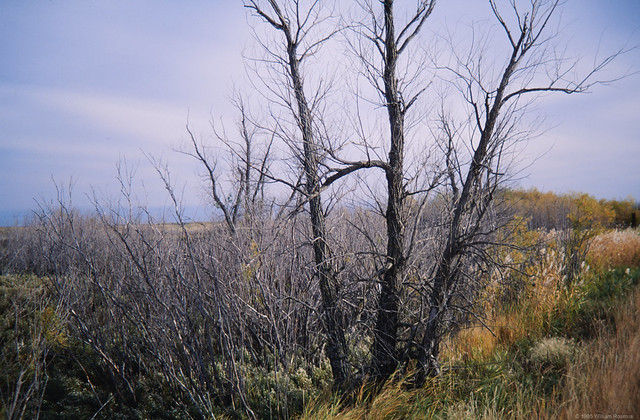 Dying Marsh Bracken - Oak Hammock Marsh 1995