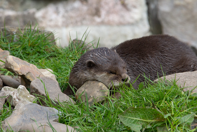 shusssssh - sleeping Asian small-clawed otter (Amblonyx cinerea)