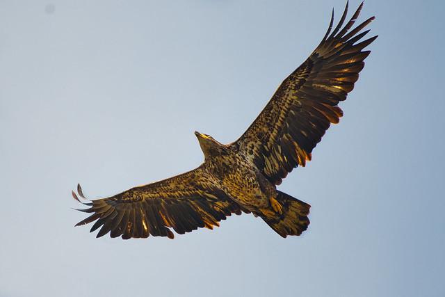 Juv Bald Eagle