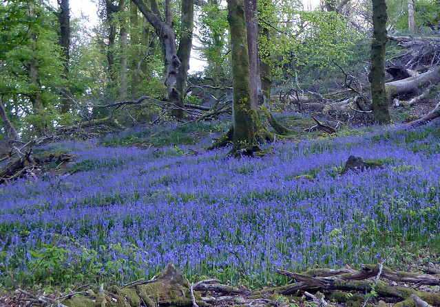 Lots of bluebells.