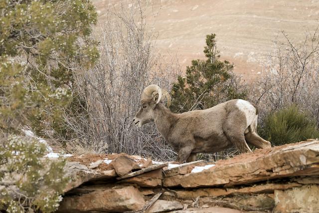 Bighorn Sheep of Colorado National Monument