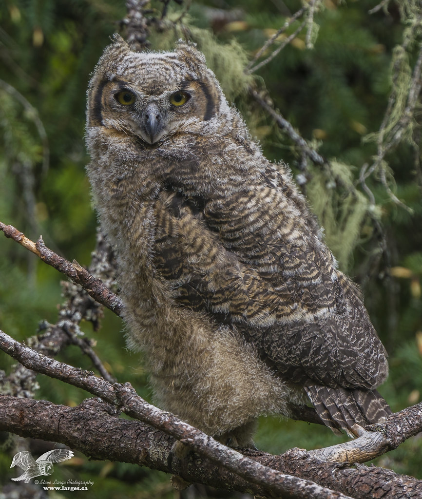 Only One Owlet Today (Great Horned Owl)