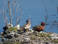 Cinnamon teal with a pair of Blue-winged teals