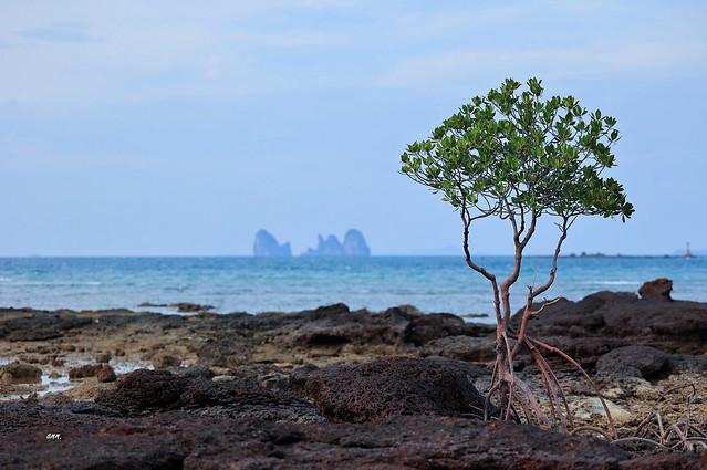 Lone tree @ Klong Muang Beach.