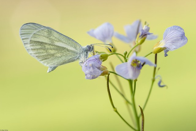 *wood white on a cuckoo flower in the morning light*