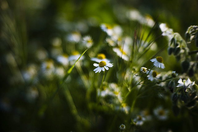 Days of daisies.