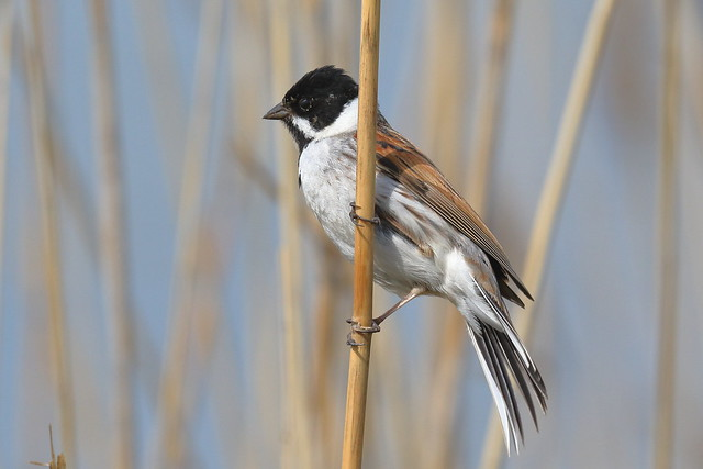 Common Reed Bunting (Emberiza schoeniclus) ♂