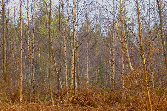 Silver Birches, New Forest NP, Hampshire, UK