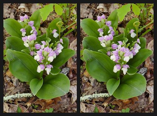 wildflowers westernnorthcarolina orchidaceae cullasajariver nantahalanationalforest stereoscopy pentax k1 smcpentax11885mm iridientdeveloper affinityphoto