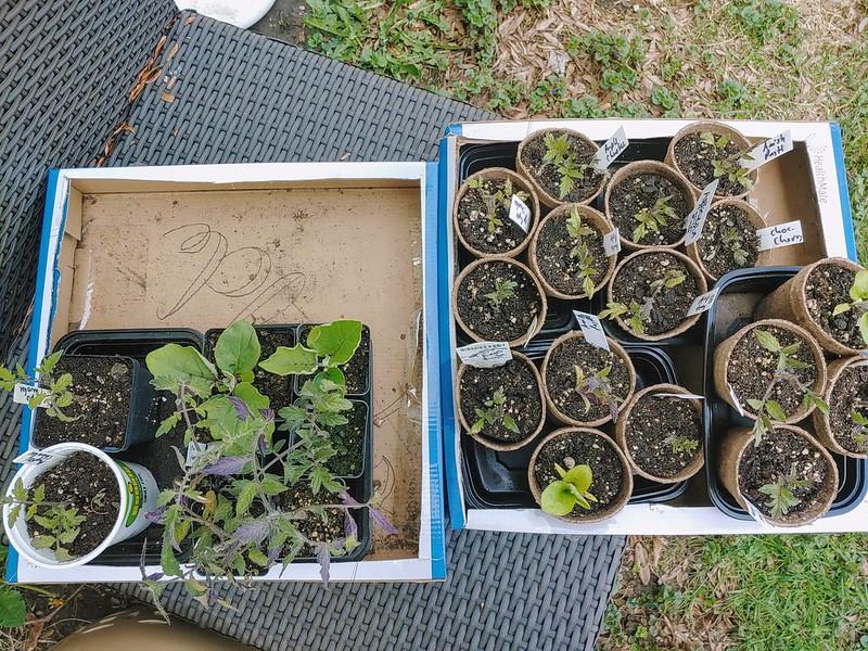 Hardening off the tomato & eggplant seedlings