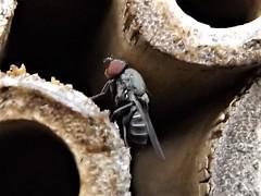 Mauerbienen-Fliege (Cacoxenus indagator)