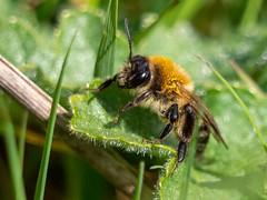 Tawny Mining Bee. E.Staffs.