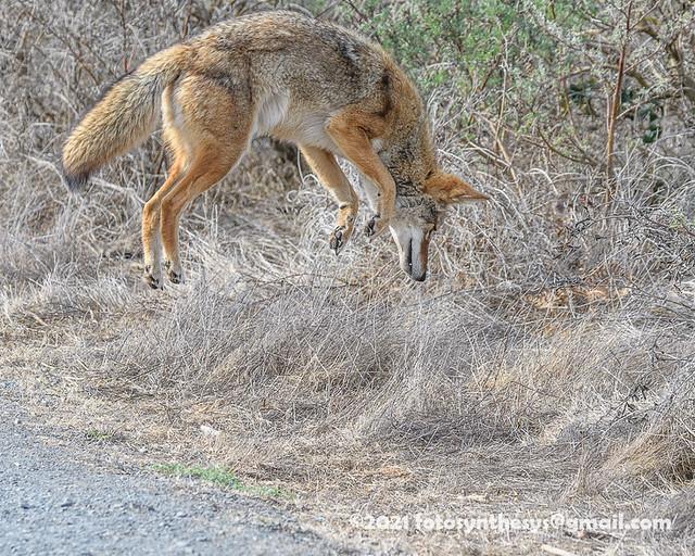 California Valley Coyote (Canis latrans ochropus) pouncing DSD_6305