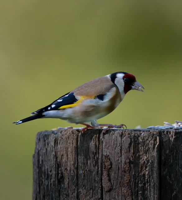 Goldfinch on the feed