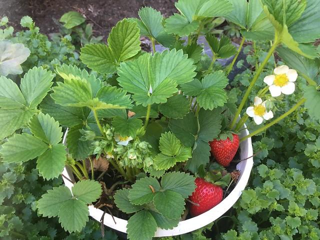 Die Erdbeeren im Topf.