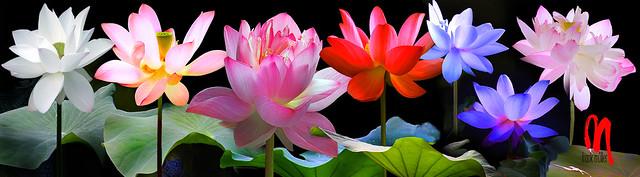 Phot.Mumbai.Lotus.Collectio.01.040313.6949.jpg