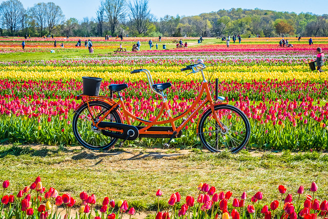 A Bicycle in a Tulips Paradise