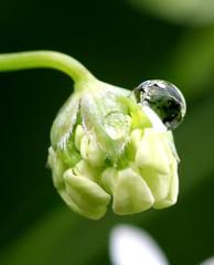 Raindrop on hemlock bud