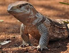 Leguaan seen in the Kruger National Park