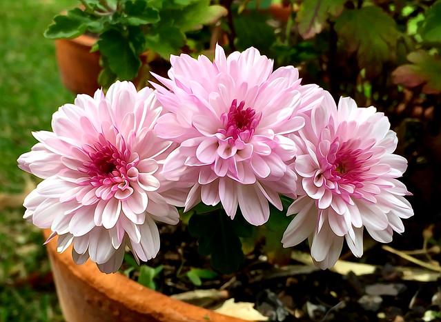 Pink Chrysanthemums_7379-2