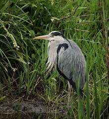 Grey Heron on Loddon