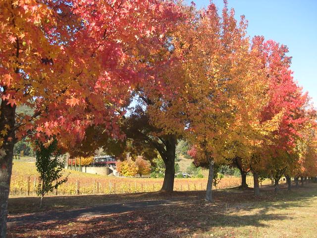 A Row of Autumnal Trees - Porepunkah