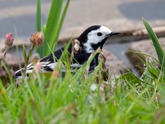 Male Pied Wagtail. S.E.Staffs.