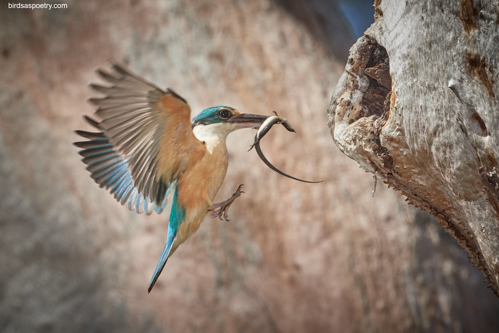 Sacred Kingfisher: Meals on Wings
