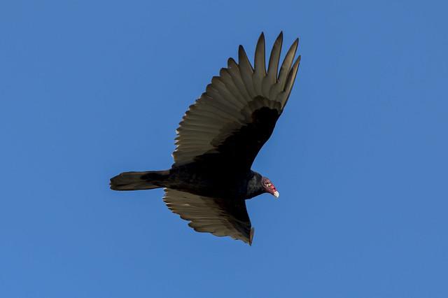 Turkey Vulture | Morning Flight