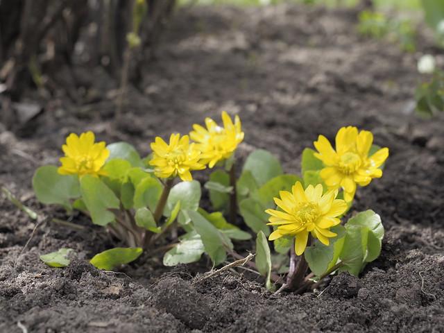 Ranunculus ficaria 'Sulli'