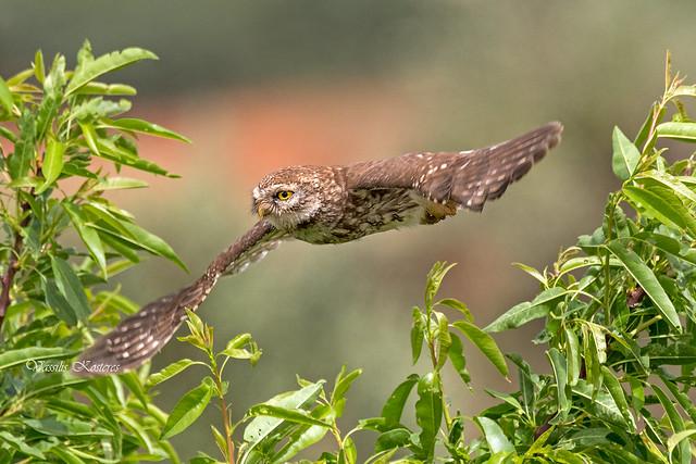 Athene noctua, Κουκουβάγια, Little Owl
