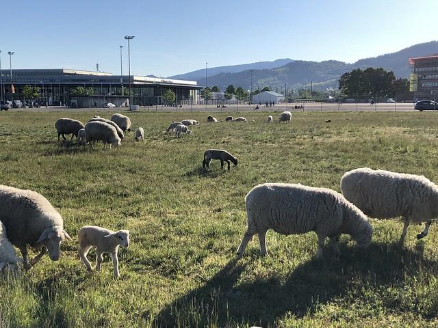 Sheep in the morning sun