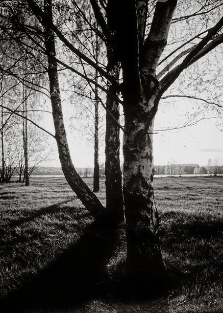 Posing birch